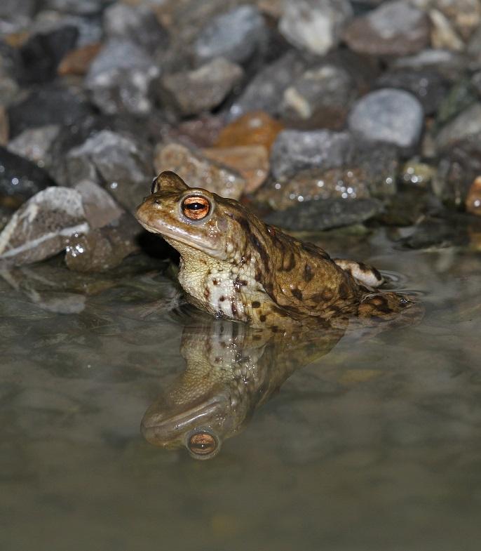 Crapaud commun dans un étang