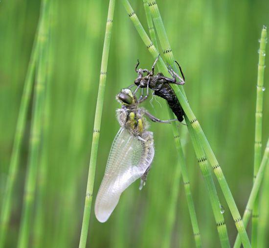 Emergence de libellule