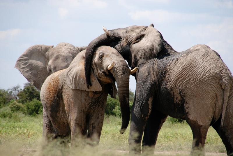 L'image montre trois éléphants