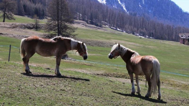 Das Bild zeigt zwei Pferde der Rasse Haflinger