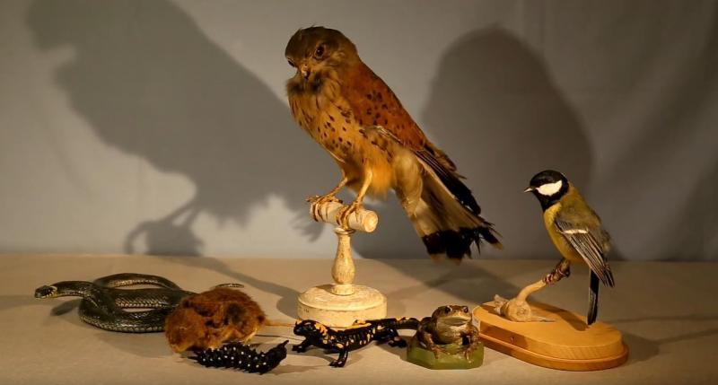 faucon crécerelle avec ses proies