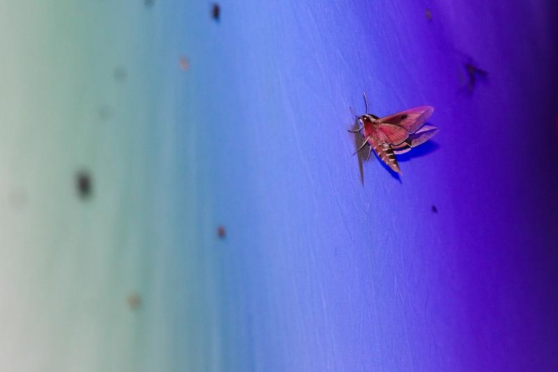 Malgré qu'ils volent de nuit, les papillons peuvent être très colorés