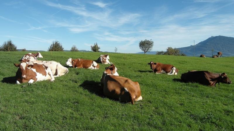 la photo représente plusieurs vaches dans un pré