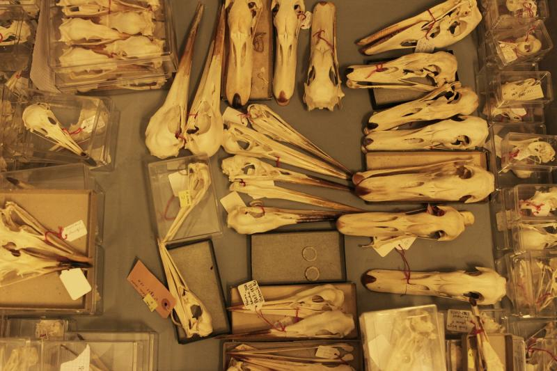 Collection de crânes d'oiseau du MHNF, détail
