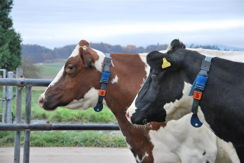 Photo montrant des vaches